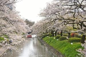富山市 松川岸の桜