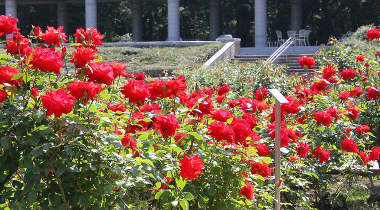 神代植物公園『春のバラフェスタ』の見どころ①バラ(薔薇)の香りが最も強い早朝のバラ(薔薇)園を楽しめるこの時期だけの『早朝開園』